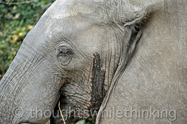 No wonder this elephant was so energetic - the scent coming from his temporal gland indicates that he is in musth - a period of high testosterone levels that make him easily provoked.