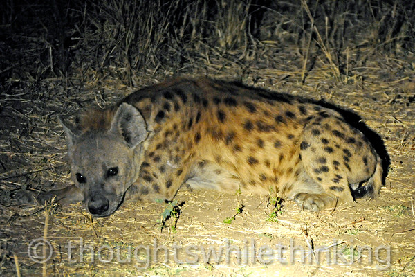 Adult hyena taking it easy as spotted during a night drive out of Kuyenda Bush Camp.