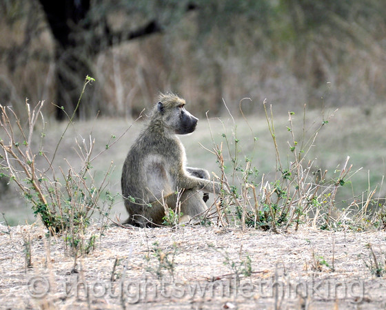 An olive baboon in a rare moment of repose.