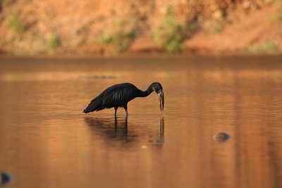 Open-billed Stork