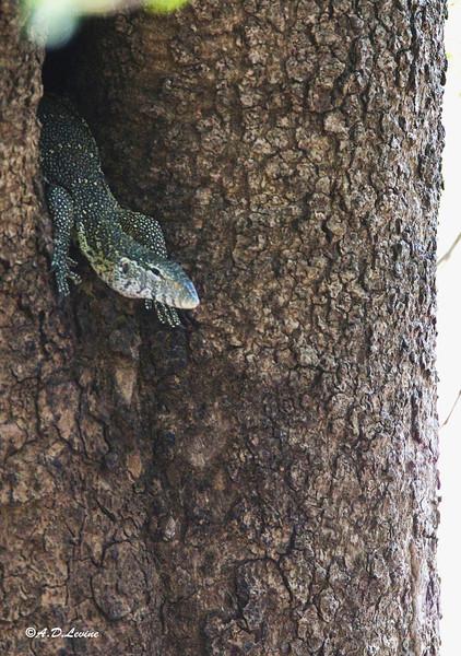 _MG_4201 monitor lizard