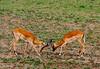 _MG_4202 impala