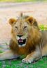 _MG_4378 lion