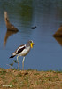 _MG_4161 white crowned lapwing
