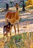 _MG_3946 impala mother and child