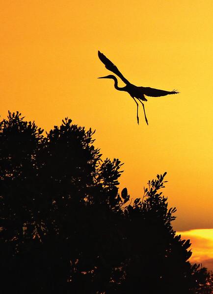 Great egret nesting in Zamboanga