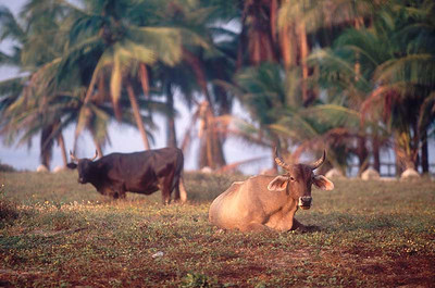 Cows-and-Palms---Zihua