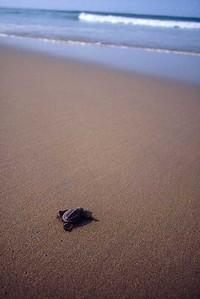 Leatherback---Zihua