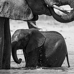 Elephant bath time, Hwange