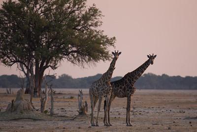 Giraffe in Hwange