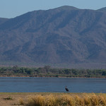 Goliath Heron and the escarpment, Mana Pools