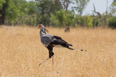 Secretary bird, Hwange