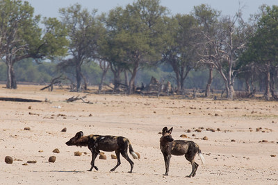 Wild dog in a parched land, Hwange