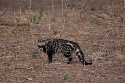 Rare sighting of a civet, Mana Pools