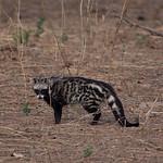 Rare sighting of a civet, Mana Pools