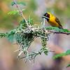 Lesser Masked Weaver (male)