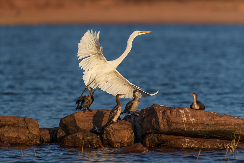Great Egret with Long-Tailed Cormorants