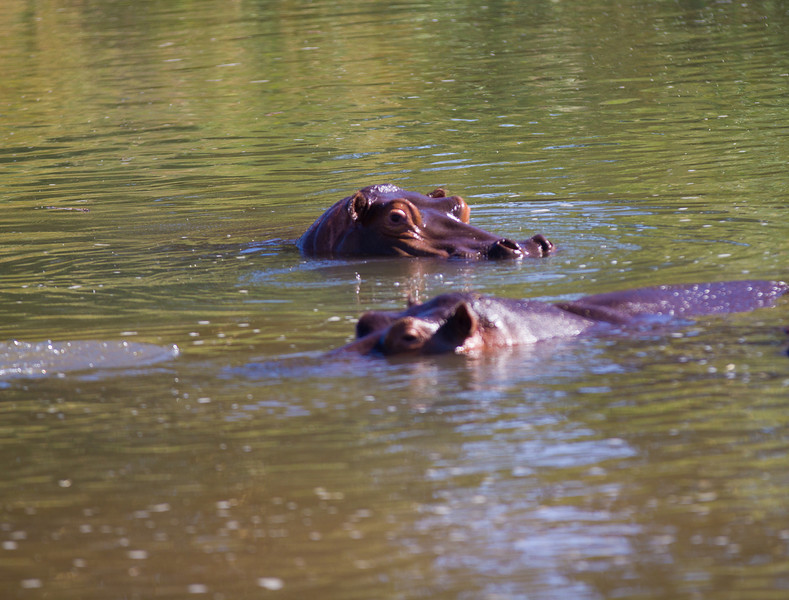 'Hippo Gaze' - Photographs of hippos at Humani in Zimbabwe.