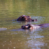 'Hippo Gaze' - Photographs of hippos at Humani in Zimbabwe.