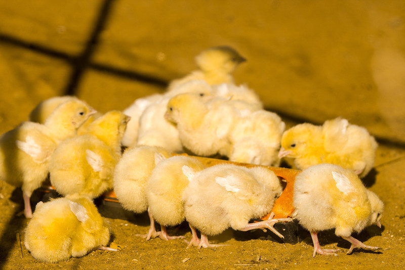 'What's the pecking order?' - Group of chickens in Zimbabwe
