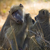 'Old Fashioned Grooming' - This picture was taken in Humani, Zimbabwe and this candid shot of two baboons grooming tugs at heartstrings.