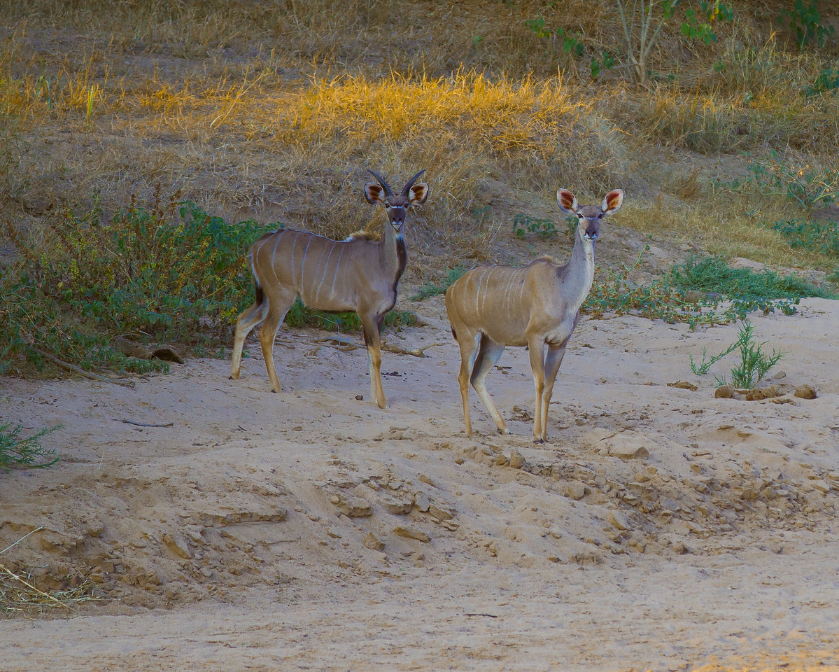 'I am all ears' - These alert Kudu's have the most  beautiful set of ears and are actually their strongest asset.