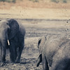Elephants keep themselves cool and free of pests by wallowing in mud and flinging dust on themselves with their trunks.