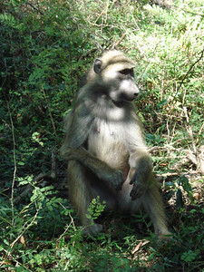 Baboon at the Falls