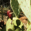 Prickly Pear, Zion National Park