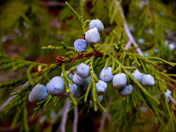 Juniper Berries, Zion National Park