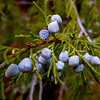 Juniper Berries, Zion National Park