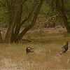 Turkeys near the cabin at Zion Lodge