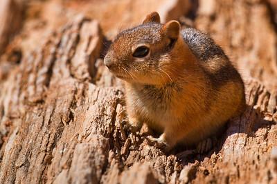 Little Ground Squirrel