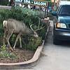 Oh Deer, Springdale!