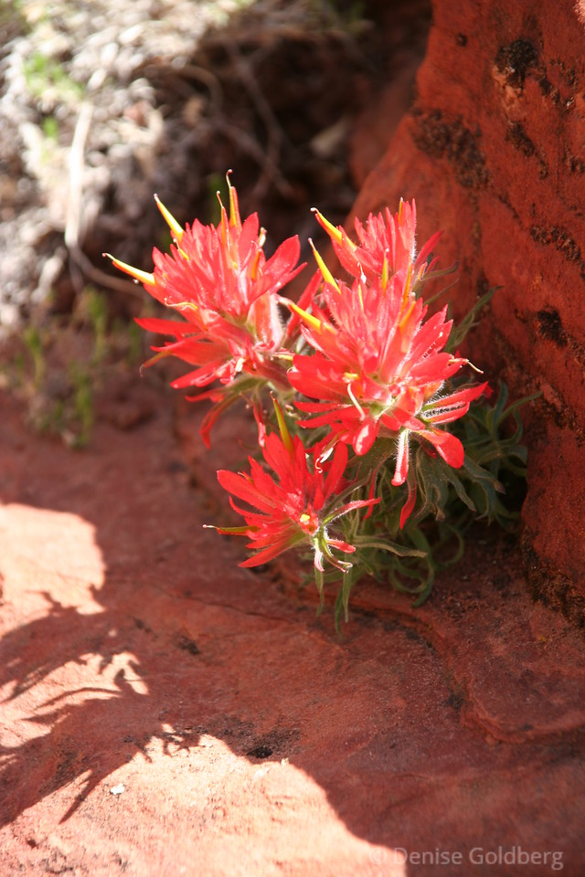 "Indian paintbrush, red flowers cropping out of red rocks, beautiful...  <p><p>Plant photos from all of my Zion galleries can be pulled together by using the keyword <b><a href=""http://denise.smugmug.com/keyword/zion+plants"">zion+plants</a></b>"