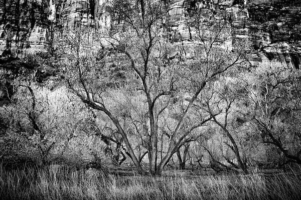Tree @ Zion NP