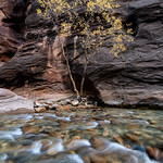 The last stop before exiting The Narrows. was to capture an image of an isolated tree.