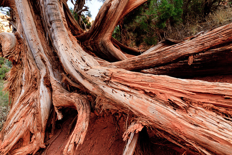 A gnarled bristlecone pine tree shows its age.