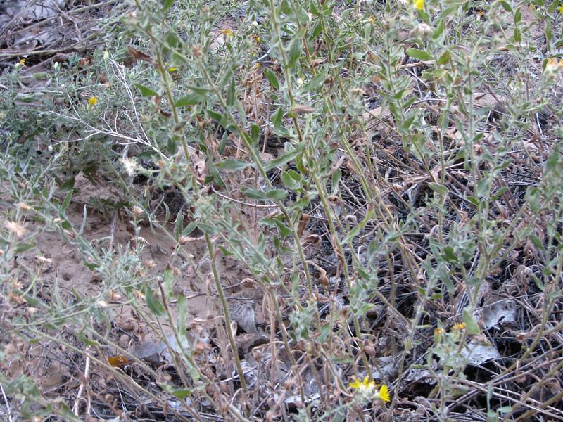 Sand Stagebrush near the trail.