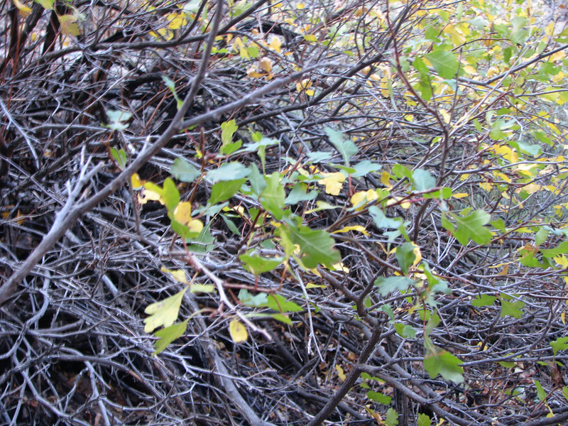 A lot of Three-leaved Sumac's abound in this area.