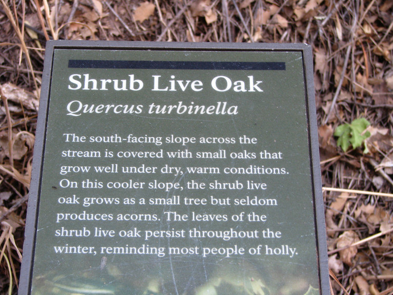 Shrub Live Oak.