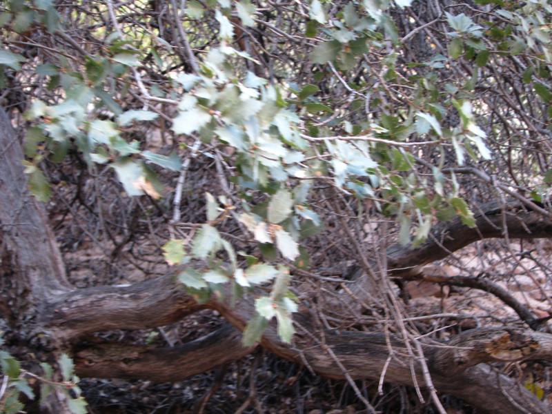 Shrub Live Oak tree.