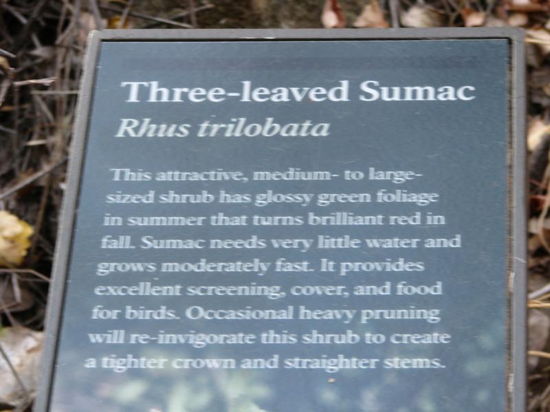 Three-leaved Sumac