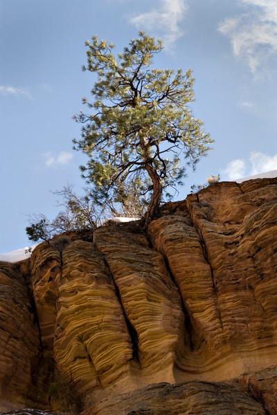 Lone Pine on Sandstone Ridge