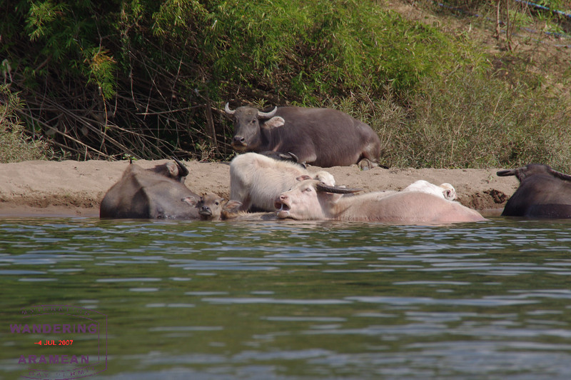 Some cows, relaxing in the river.