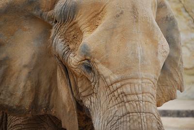 African Elephant - San Antonio Zoo