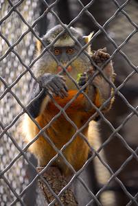 Golden-Bellied Mangabey at the San Antonio Zoo.