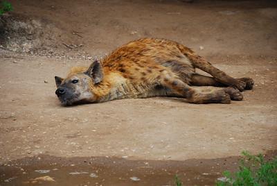 Bored hyena - San Antonio Zoo