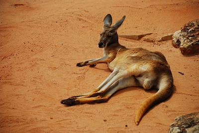 Relaxing kangaroo - San Antonio Zoo