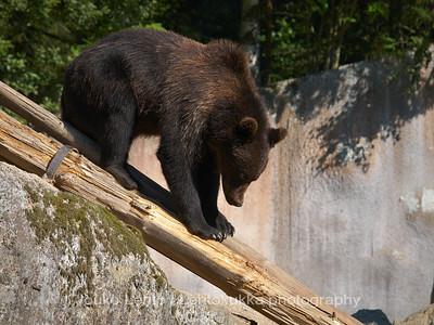 Karhu (Ursus arctos) - Brown bear